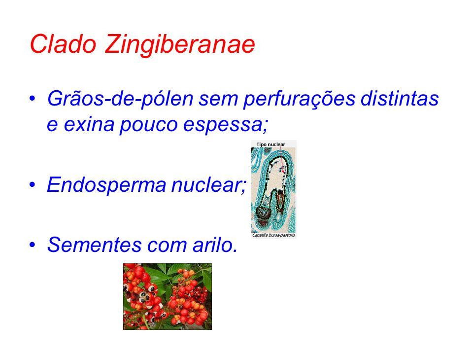 Clado Zingiberanae Grãos-de-pólen sem perfurações distintas e exina pouco espessa; Endosperma nuclear; Sementes com arilo.