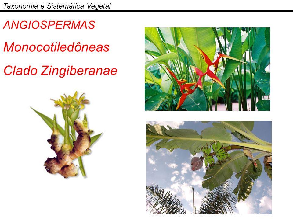 ANGIOSPERMAS Monocotiledôneas Clado Zingiberanae Taxonomia e Sistemática Vegetal