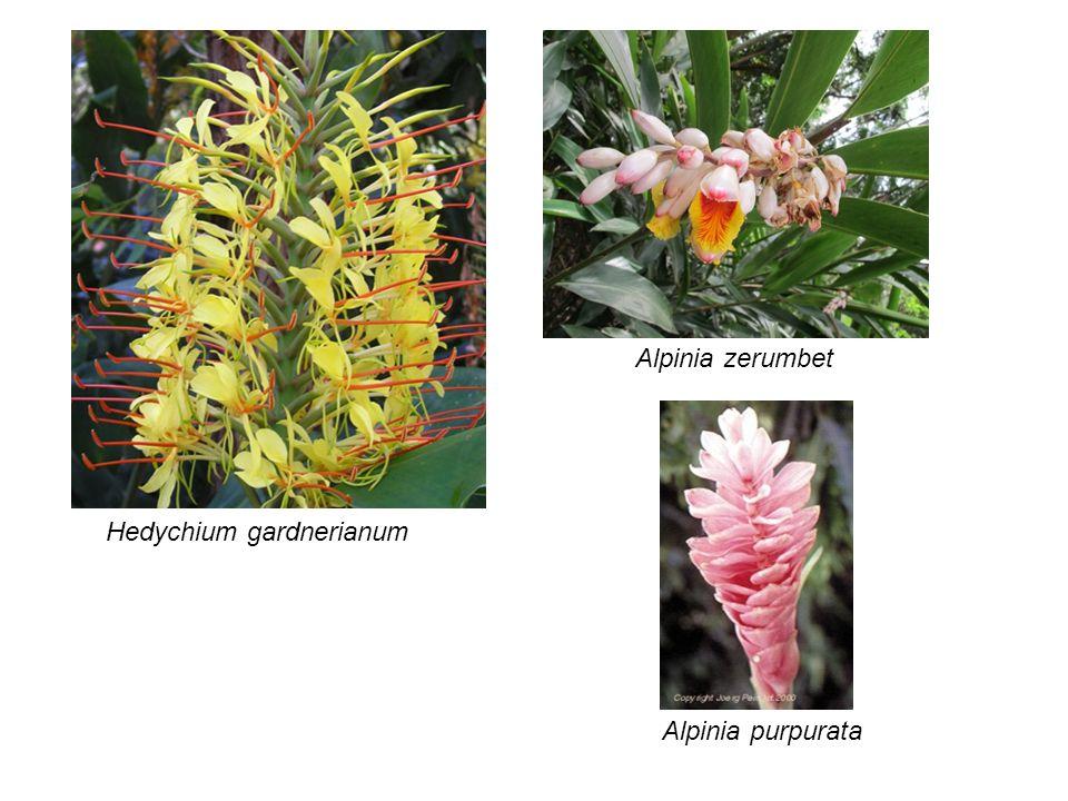 Hedychium gardnerianum Alpinia zerumbet Alpinia purpurata