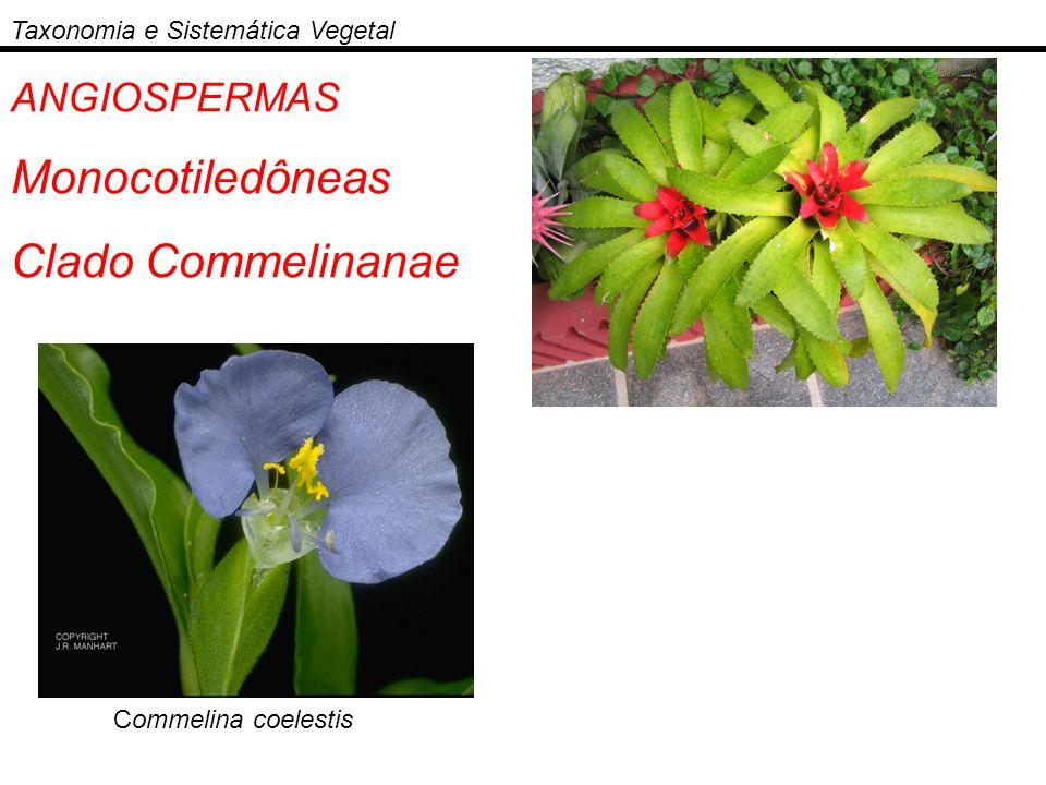 ANGIOSPERMAS Monocotiledôneas Clado Commelinanae Taxonomia e Sistemática Vegetal Commelina coelestis