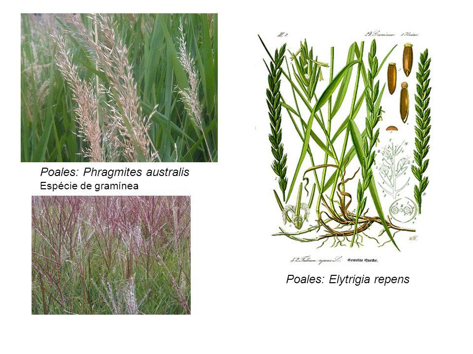 Poales: Phragmites australis Espécie de gramínea Poales: Elytrigia repens