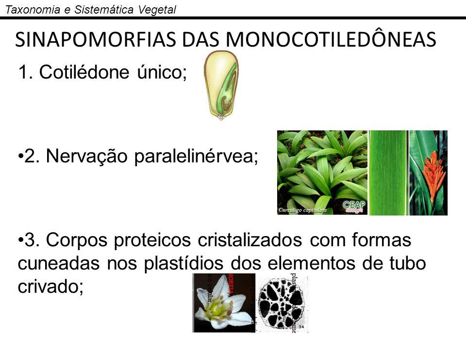 Taxonomia e Sistemática Vegetal SINAPOMORFIAS DAS MONOCOTILEDÔNEAS 1. Cotilédone único; 2. Nervação paralelinérvea; 3. Corpos proteicos cristalizados