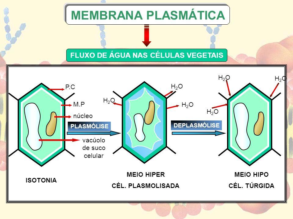 ISOTONIA P.C M.P núcleo vacúolo de suco celular MEIO HIPO CÉL. TÚRGIDA PLASMÓLISE MEIO HIPER CÉL. PLASMOLISADA DEPLASMÓLISE H2OH2O H2OH2O H2OH2O H2OH2