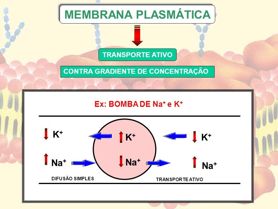 Ex: BOMBA DE Na + e K + TRANSPORTE ATIVO CONTRA GRADIENTE DE CONCENTRAÇÃO MEMBRANA PLASMÁTICA K+K+ Na + K+K+ K+K+ DIFUSÃO SIMPLES TRANSPORTE ATIVO