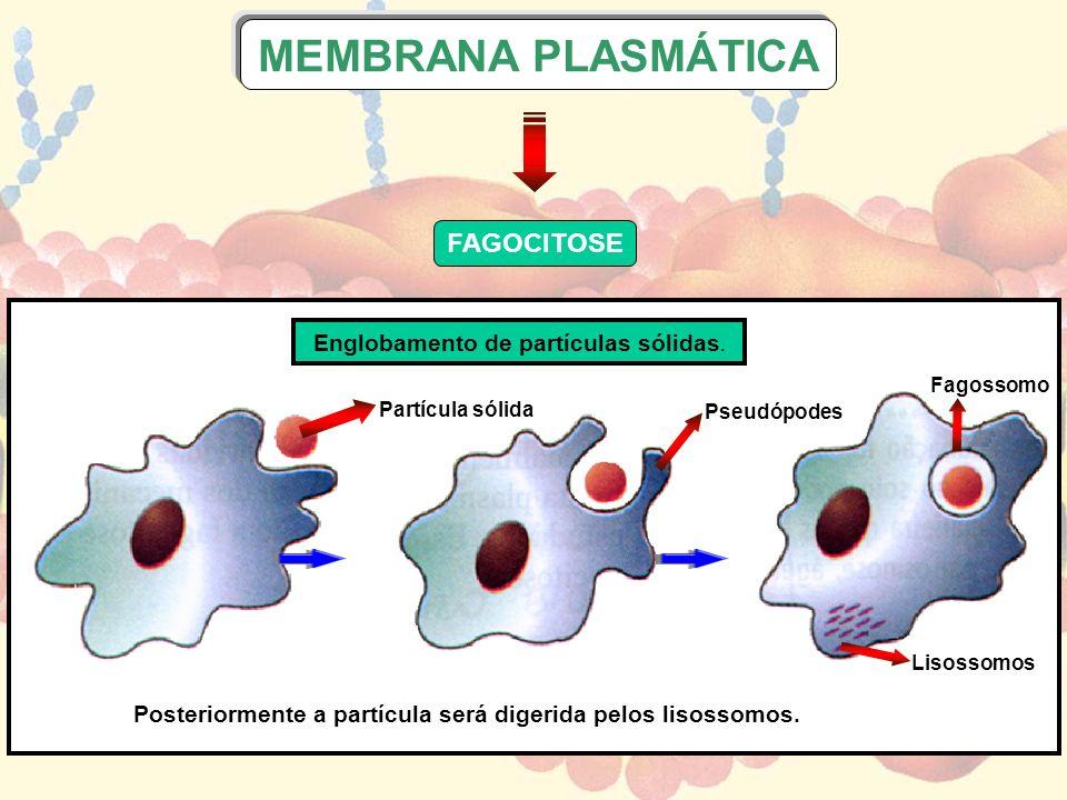 FAGOCITOSE MEMBRANA PLASMÁTICA Fagossomo Lisossomos Pseudópodes Partícula sólida Englobamento de partículas sólidas. Posteriormente a partícula será d