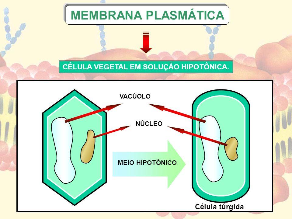 VACÚOLO NÚCLEO MEIO HIPOTÔNICO Célula túrgida CÉLULA VEGETAL EM SOLUÇÃO HIPOTÔNICA. MEMBRANA PLASMÁTICA