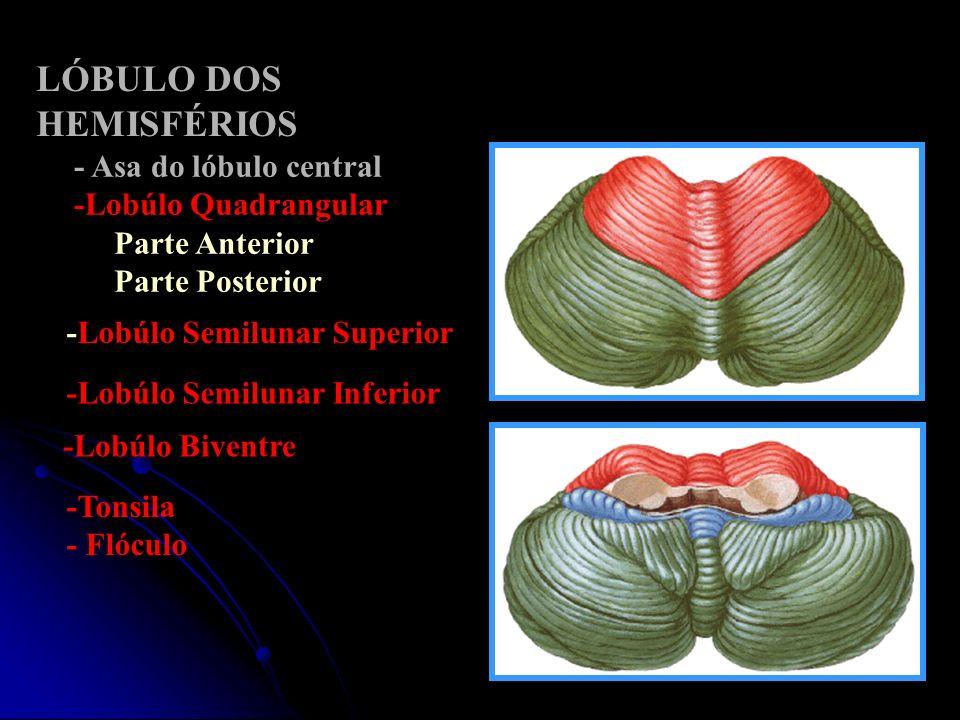 - Asa do lóbulo central -Lobúlo Quadrangular Parte Anterior Parte Posterior -Lobúlo Semilunar Superior LÓBULO DOS HEMISFÉRIOS -Lobúlo Semilunar Inferi