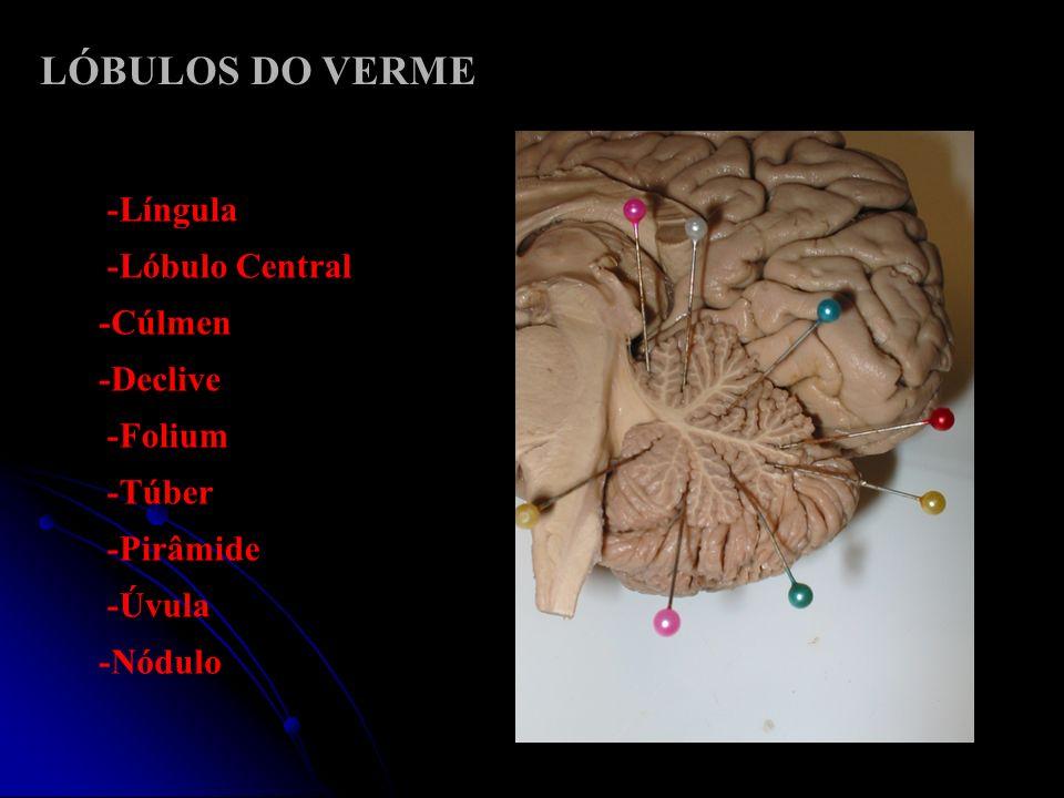 -Língula LÓBULOS DO VERME -Nódulo -Úvula -Pirâmide -Túber -Folium -Declive -Cúlmen -Lóbulo Central