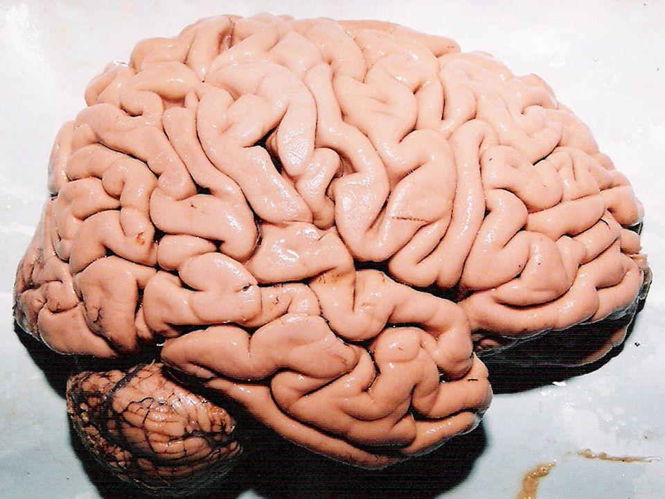 Conceito Parte do SNC que deriva da divisão posterior do metencéfalo.