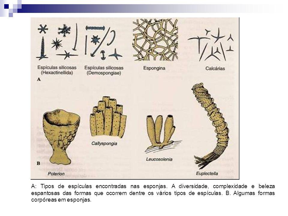 A: Tipos de espículas encontradas nas esponjas. A diversidade, complexidade e beleza espantosas das formas que ocorrem dentre os vários tipos de espíc