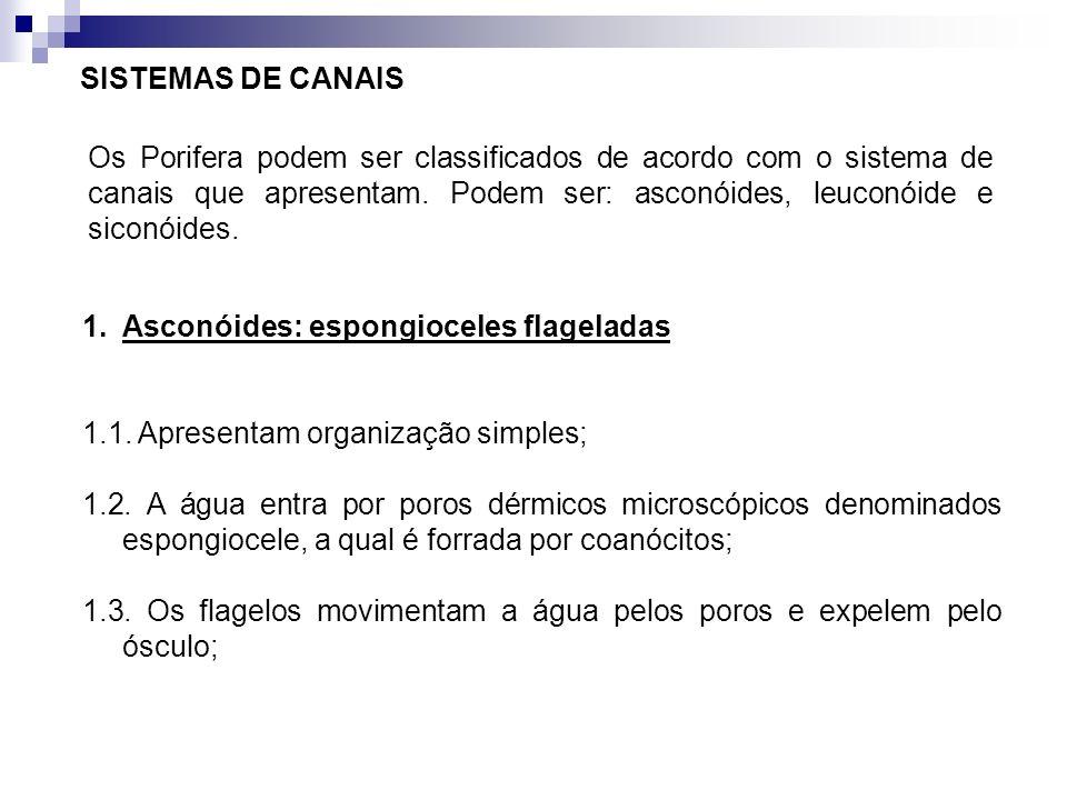 SISTEMAS DE CANAIS Os Porifera podem ser classificados de acordo com o sistema de canais que apresentam. Podem ser: asconóides, leuconóide e siconóide