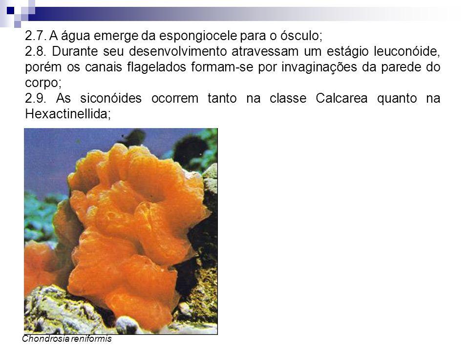 2.7. A água emerge da espongiocele para o ósculo; 2.8. Durante seu desenvolvimento atravessam um estágio leuconóide, porém os canais flagelados formam