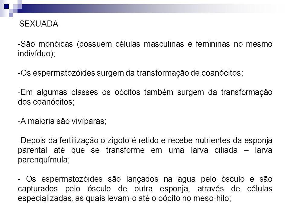 SEXUADA -São monóicas (possuem células masculinas e femininas no mesmo indivíduo); -Os espermatozóides surgem da transformação de coanócitos; -Em algu
