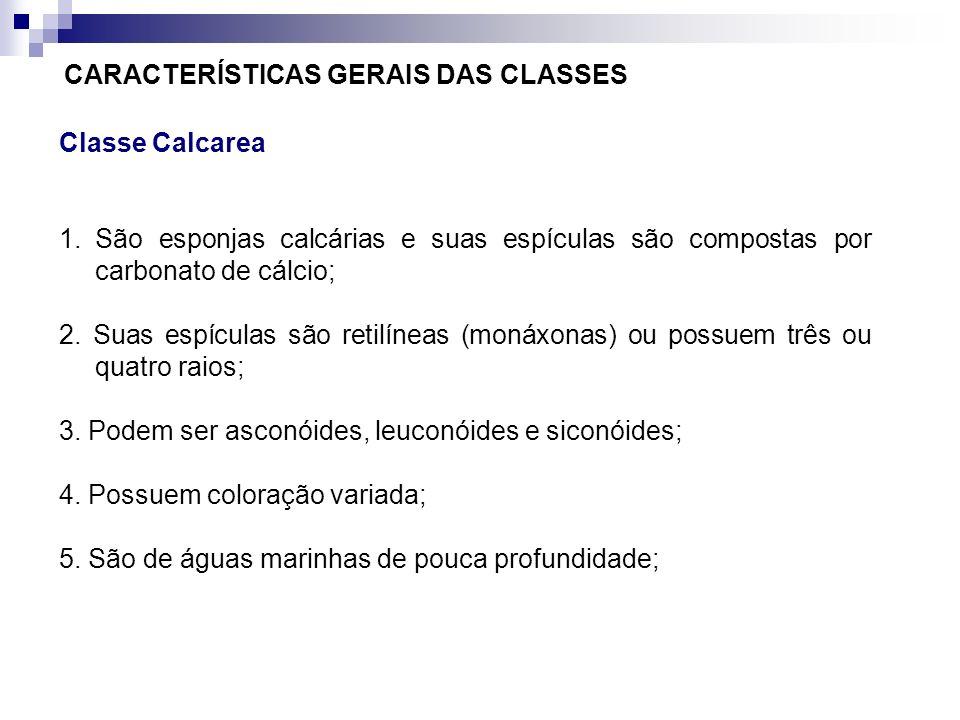 CARACTERÍSTICAS GERAIS DAS CLASSES Classe Calcarea 1.São esponjas calcárias e suas espículas são compostas por carbonato de cálcio; 2. Suas espículas