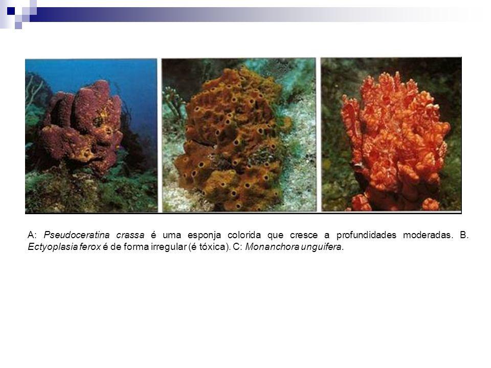 A: Pseudoceratina crassa é uma esponja colorida que cresce a profundidades moderadas. B. Ectyoplasia ferox é de forma irregular (é tóxica). C: Monanch