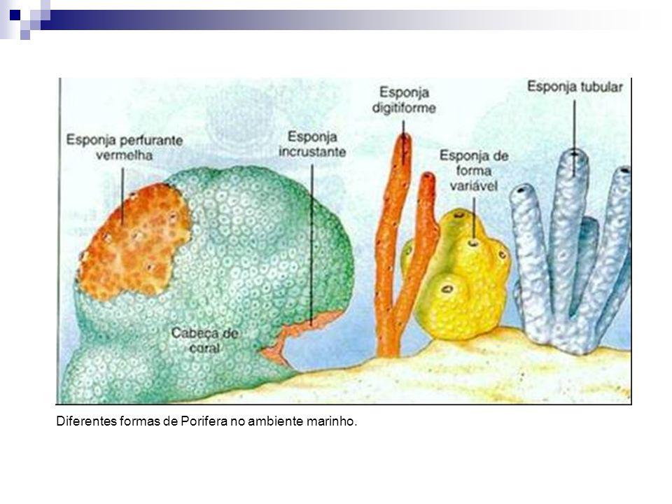 FORMA E FUNÇÃO a)As únicas aberturas são os poros, os quais são denominados em: óstios (menores) e ósculos (maiores); b) Os poros são conectados formando um sistema de canais, os quais são formados por células flagelares – coanócitos; c) Os coanócitos tem a função de manter a corrente, assim como, atuar diretamente na captura de alimentos;