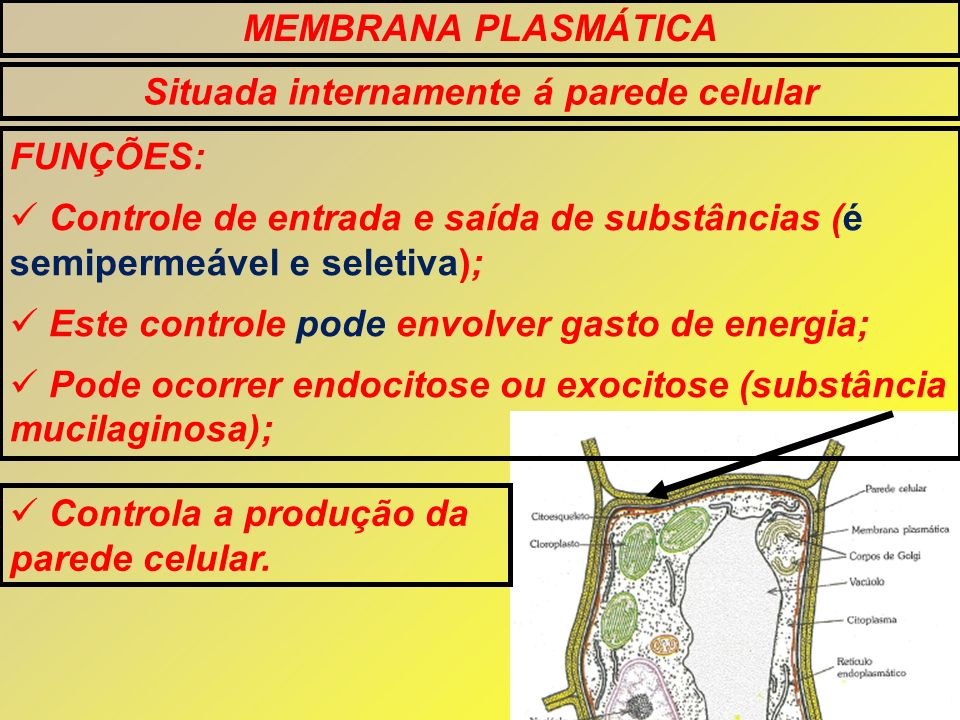 MEMBRANA PLASMÁTICA Situada internamente á parede celular FUNÇÕES: Controle de entrada e saída de substâncias (é semipermeável e seletiva); Este contr
