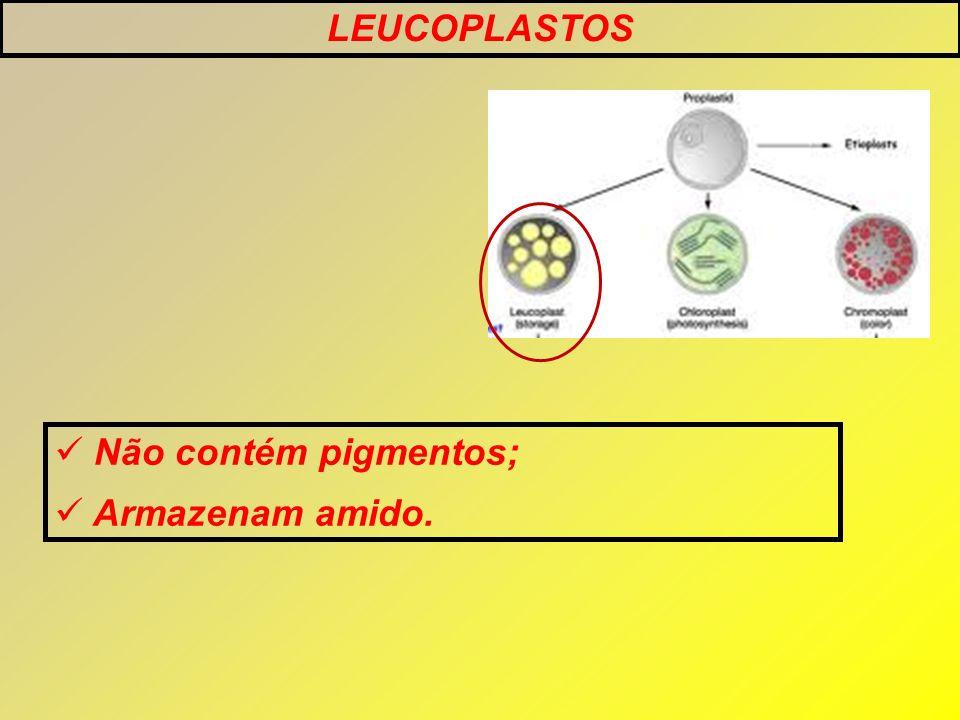 LEUCOPLASTOS Não contém pigmentos; Armazenam amido.