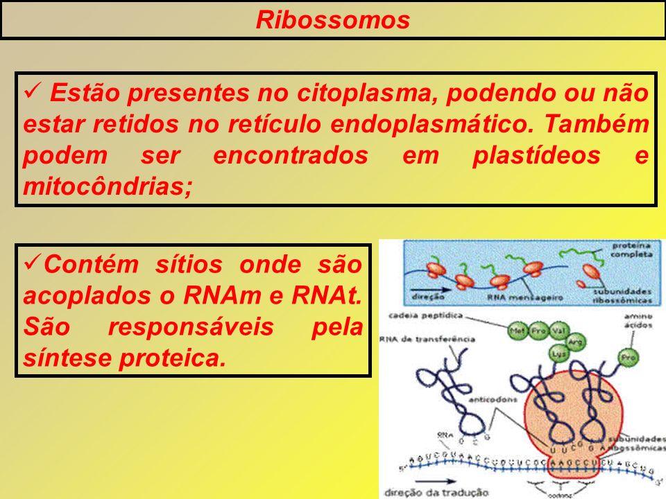 Ribossomos Estão presentes no citoplasma, podendo ou não estar retidos no retículo endoplasmático. Também podem ser encontrados em plastídeos e mitocô