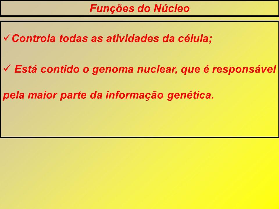 Funções do Núcleo Controla todas as atividades da célula; Está contido o genoma nuclear, que é responsável pela maior parte da informação genética.