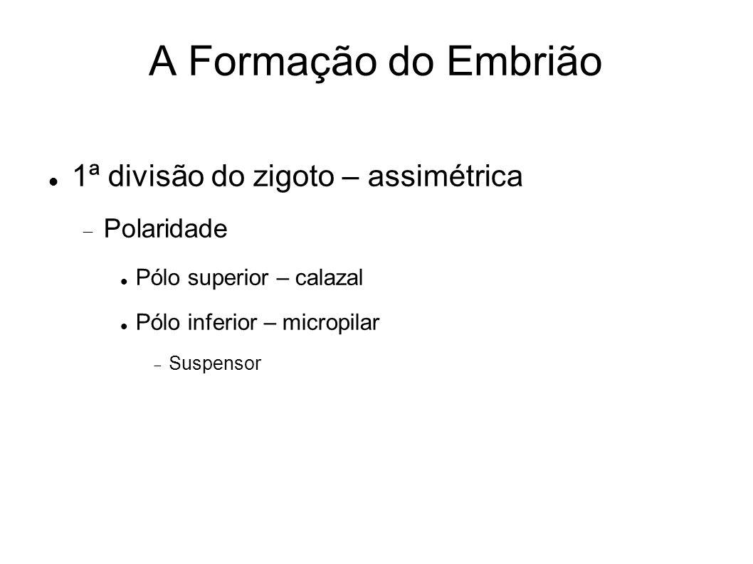 A Formação do Embrião 1ª divisão do zigoto – assimétrica Polaridade Pólo superior – calazal Pólo inferior – micropilar Suspensor