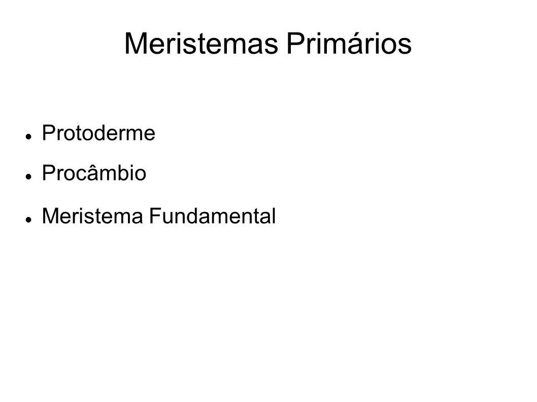 Meristemas Primários Protoderme Procâmbio Meristema Fundamental