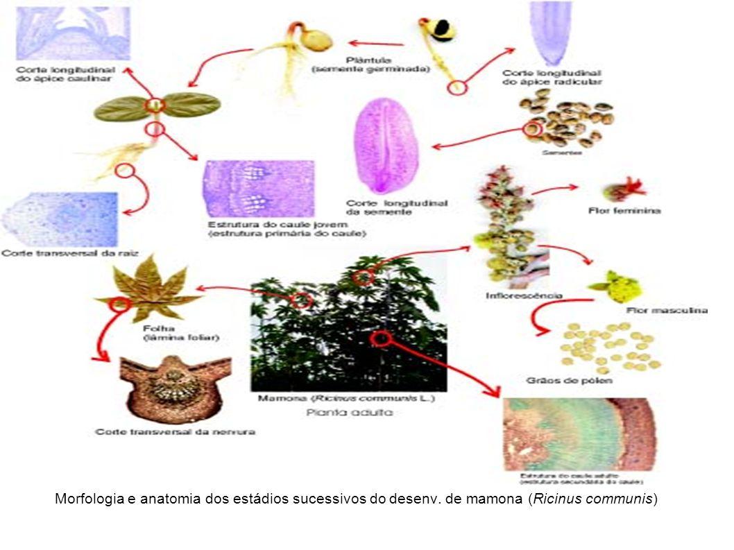 Morfologia e anatomia dos estádios sucessivos do desenv. de mamona (Ricinus communis)