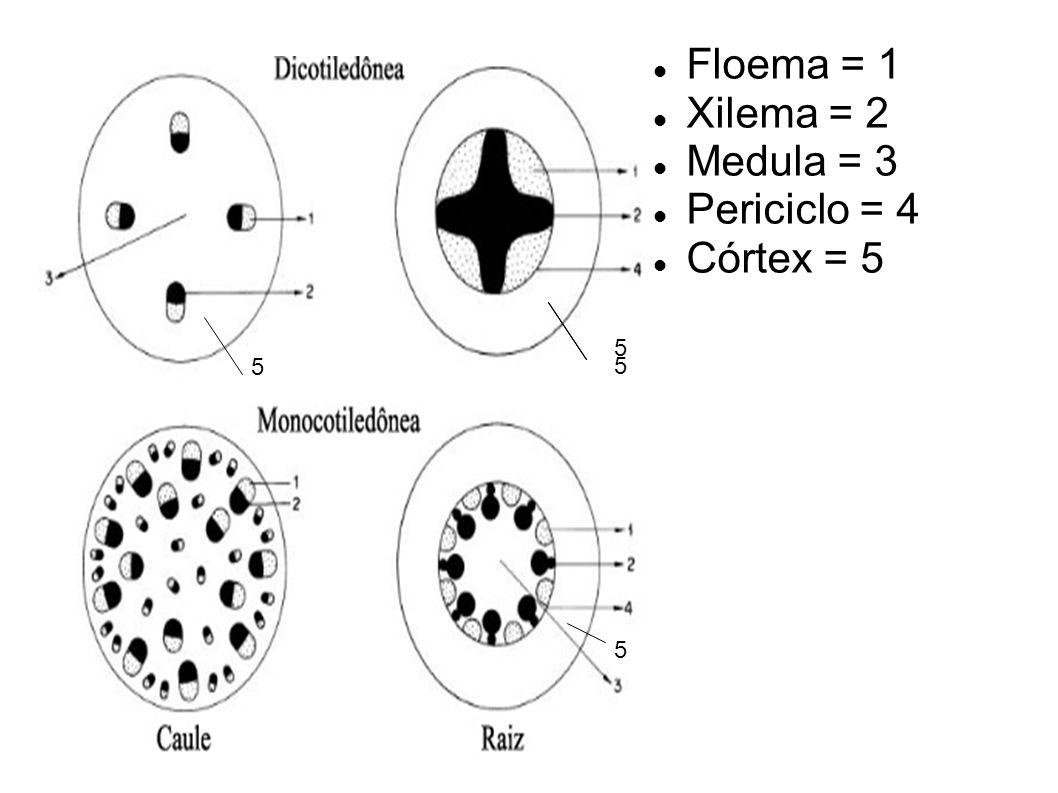 Floema = 1 Xilema = 2 Medula = 3 Periciclo = 4 Córtex = 5 5 5 5 5