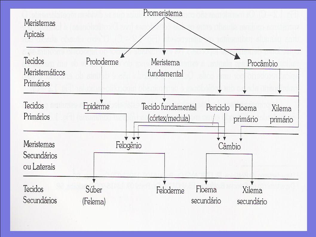 Tecidos vegetais Tecidos permanentes Constituído por tipos celulares restritos e originados do meristema; Sistema dérmico – edpiderme, cobertura externa.