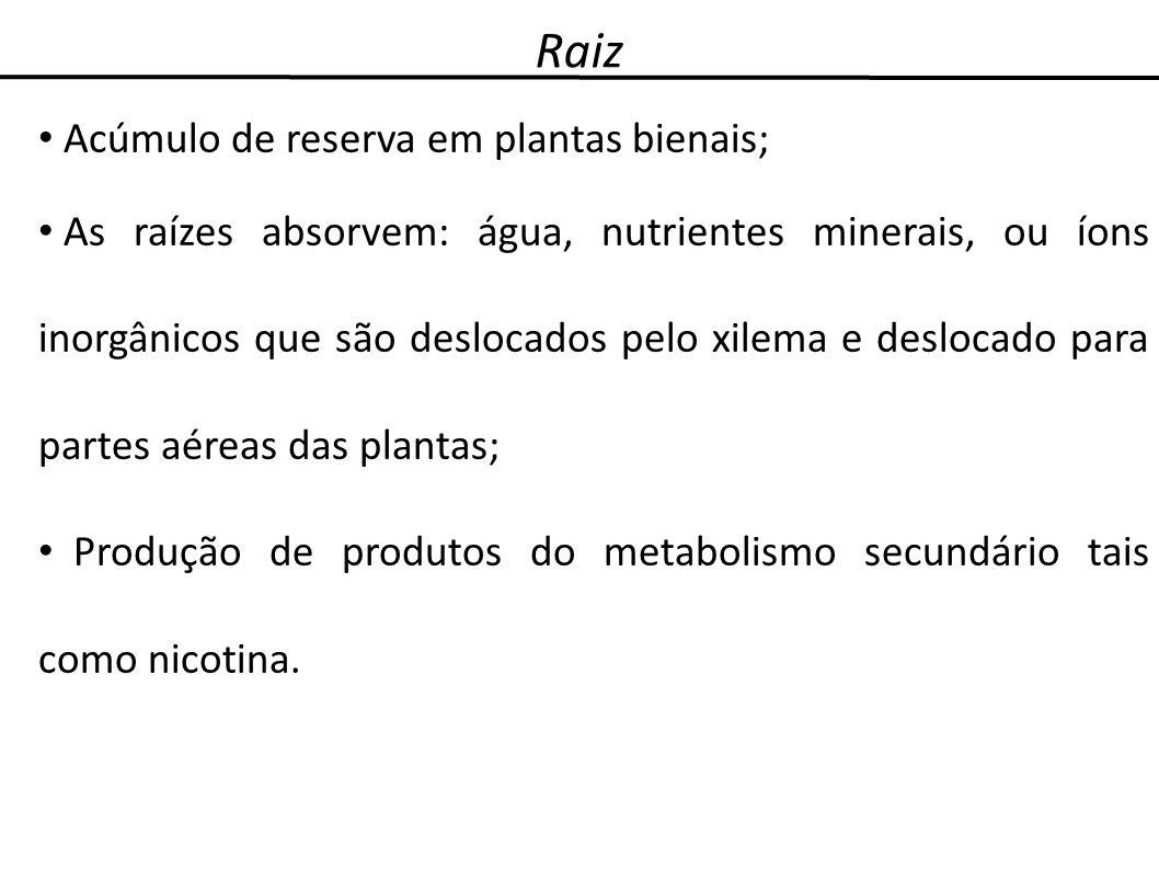 Raiz Acúmulo de reserva em plantas bienais; As raízes absorvem: água, nutrientes minerais, ou íons inorgânicos que são deslocados pelo xilema e desloc