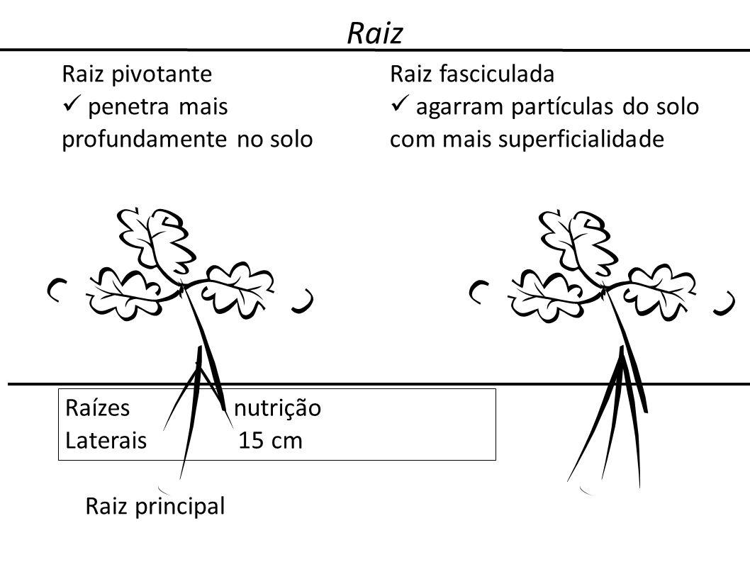 Raiz Raiz principal Raízes nutrição Laterais 15 cm Raiz pivotante penetra mais profundamente no solo Raiz fasciculada agarram partículas do solo com m