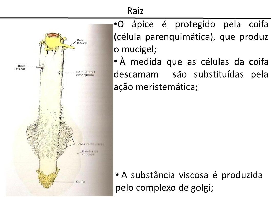 Raiz O ápice é protegido pela coifa (célula parenquimática), que produz o mucigel; À medida que as células da coifa descamam são substituídas pela açã