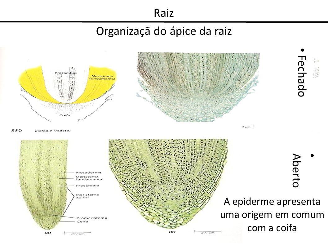 Raiz Organizaçã do ápice da raiz Aberto Fechado A epiderme apresenta uma origem em comum com a coifa
