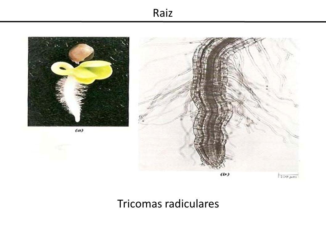Raiz Tricomas radiculares