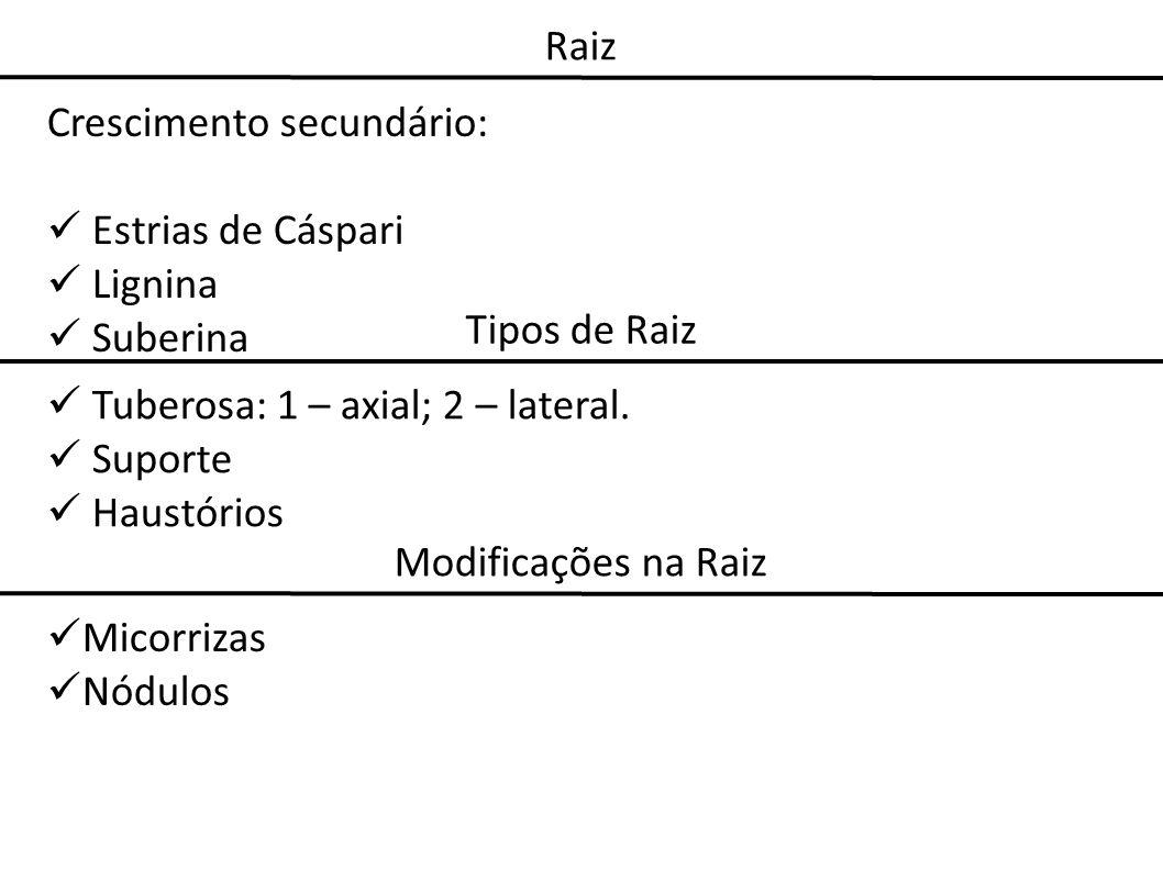 Crescimento secundário: Estrias de Cáspari Lignina Suberina Tipos de Raiz Tuberosa: 1 – axial; 2 – lateral. Suporte Haustórios Modificações na Raiz Mi