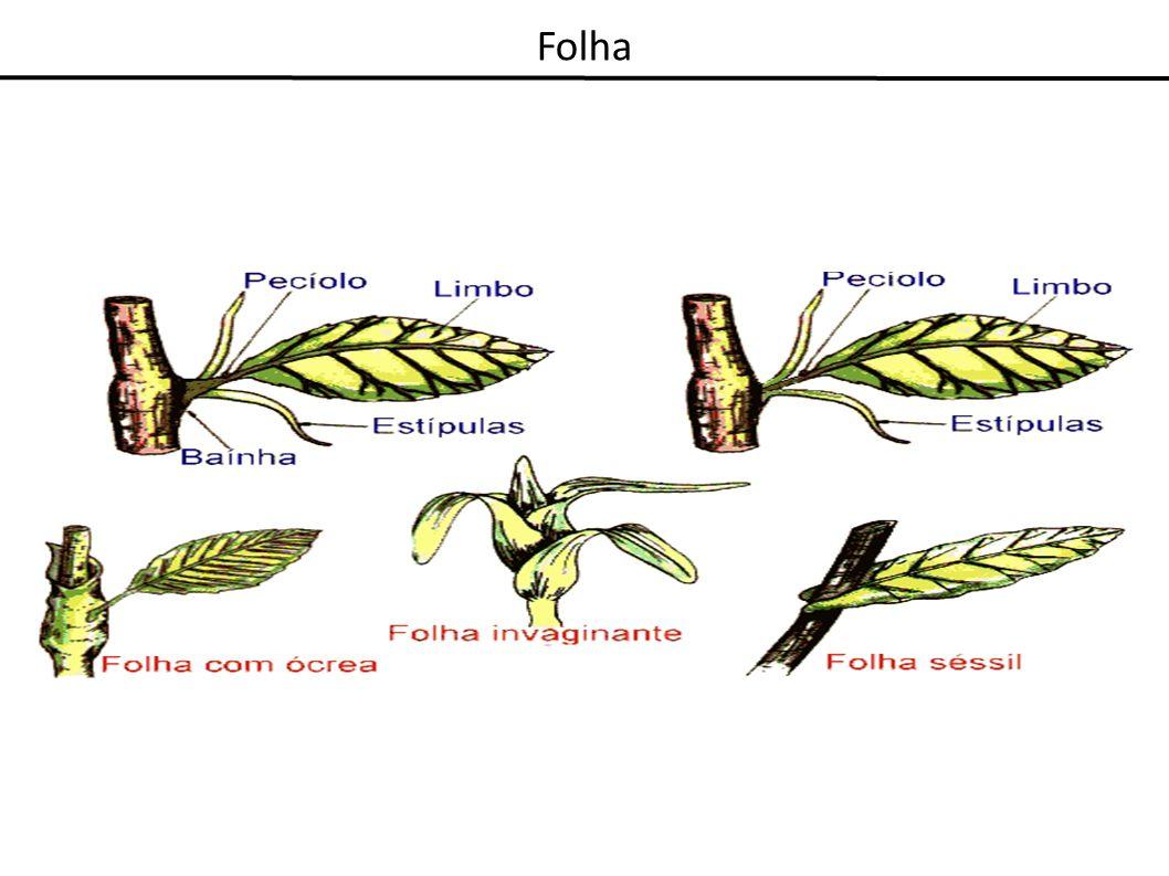 Configuração da folha quanto ao limbo Folha simples - quando o limbo não dividido em folíolos ou pinas Folha composta - quando o limbo consiste de folíolos separados Folha