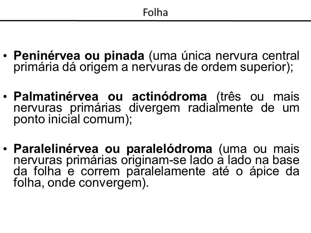 Peninérvea ou pinada (uma única nervura central primária dá origem a nervuras de ordem superior); Palmatinérvea ou actinódroma (três ou mais nervuras