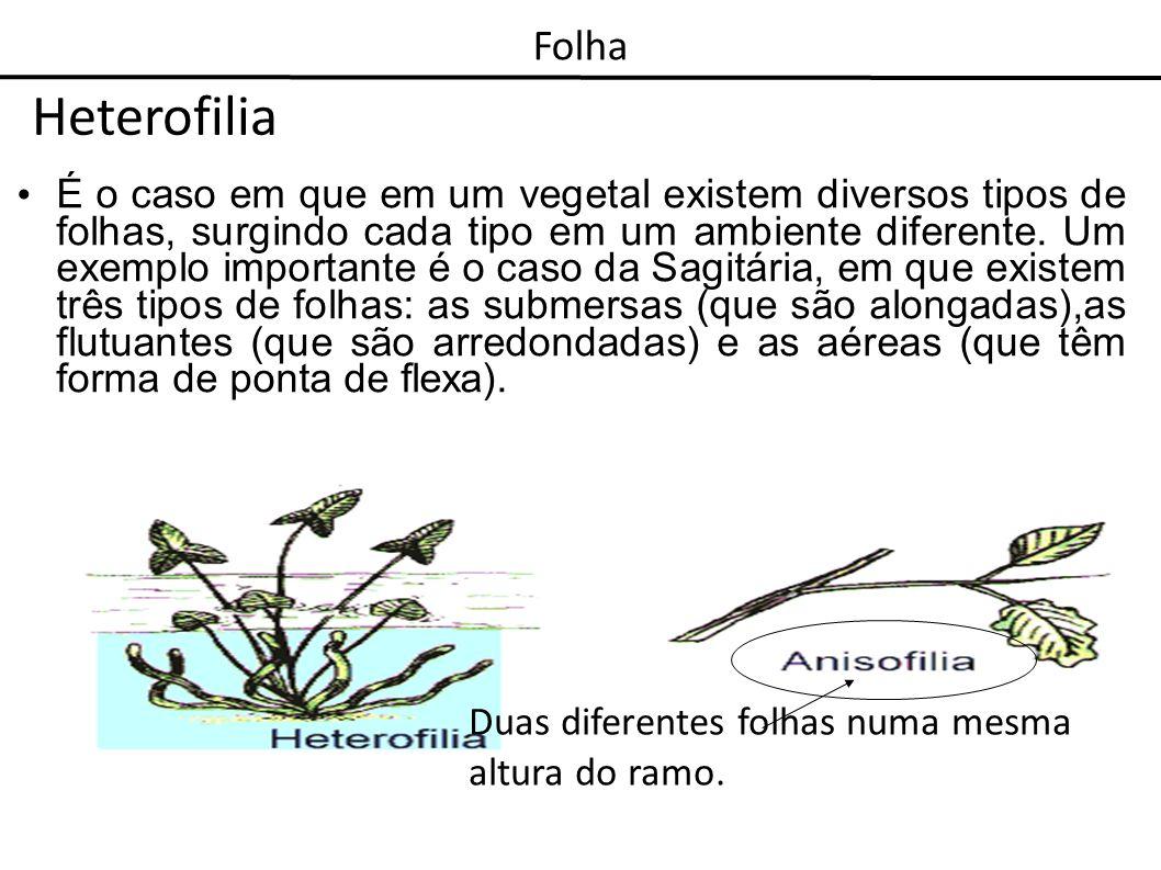 Heterofilia É o caso em que em um vegetal existem diversos tipos de folhas, surgindo cada tipo em um ambiente diferente. Um exemplo importante é o cas