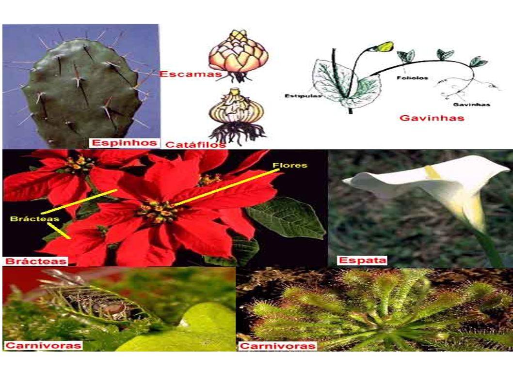 Anatomia da Folha As folhas, normalmente, têm uma forma laminar e, olharndo ao microscópio, veremos que possuem duas epidermes: a superior e a inferior, revestidas por uma cutícula para dificultar as perdas de água.