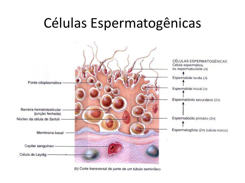 Células Espermatogênicas