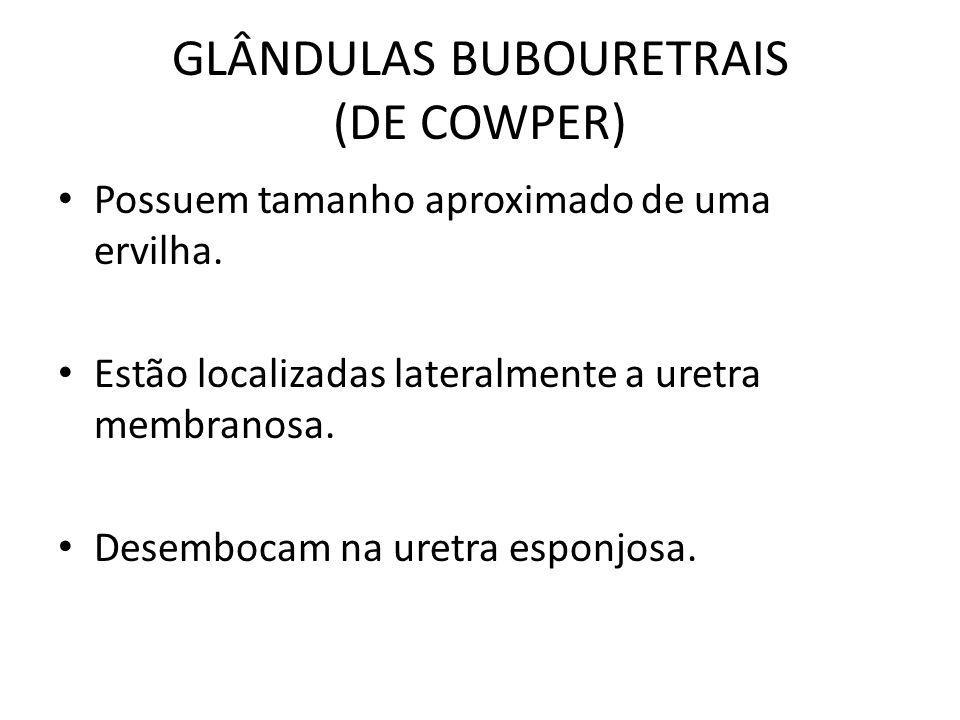 GLÂNDULAS BUBOURETRAIS (DE COWPER) Possuem tamanho aproximado de uma ervilha. Estão localizadas lateralmente a uretra membranosa. Desembocam na uretra