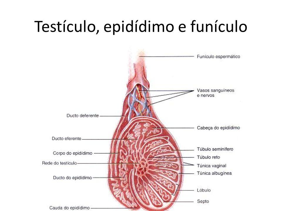 EJACULAÇÃO Os sinais trnasmitidos pelos nervos simpáticos produzem a contração do epidímdimo, do ducto deferente, das vesículas seminais, do músculo liso da próstata.