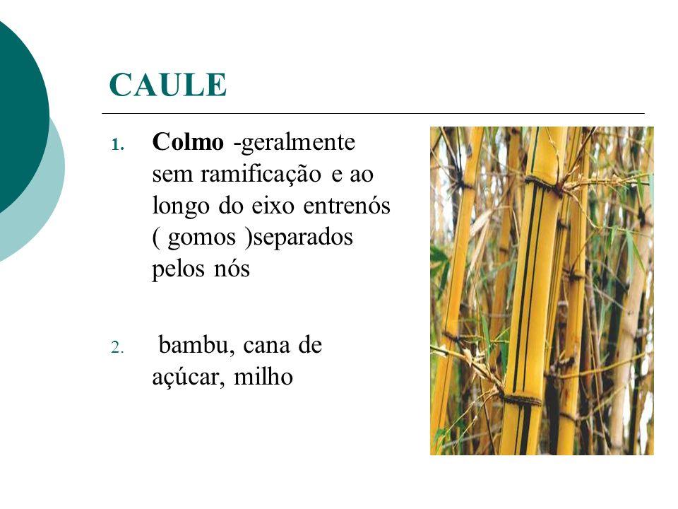 CAULE 1. Colmo -geralmente sem ramificação e ao longo do eixo entrenós ( gomos )separados pelos nós 2. bambu, cana de açúcar, milho