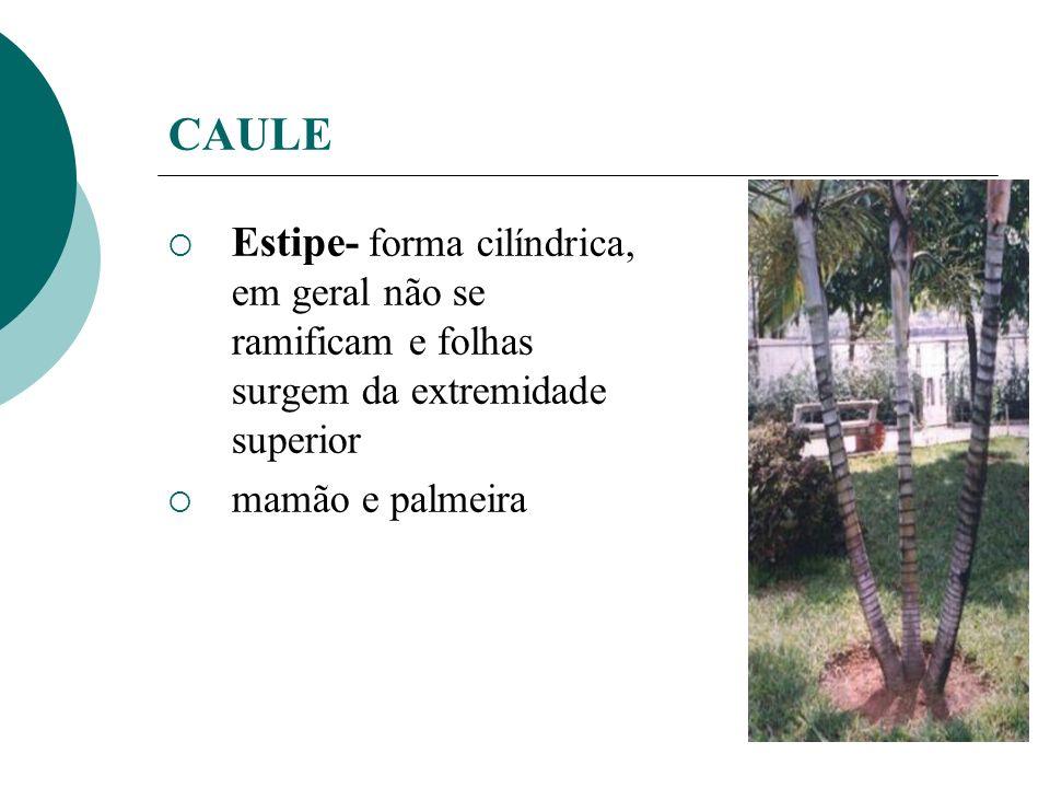 CAULE Estipe- forma cilíndrica, em geral não se ramificam e folhas surgem da extremidade superior mamão e palmeira