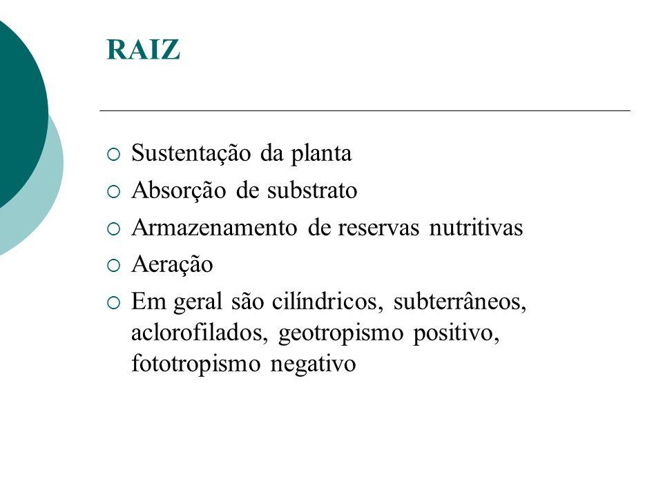 RAIZ Sustentação da planta Absorção de substrato Armazenamento de reservas nutritivas Aeração Em geral são cilíndricos, subterrâneos, aclorofilados, geotropismo positivo, fototropismo negativo