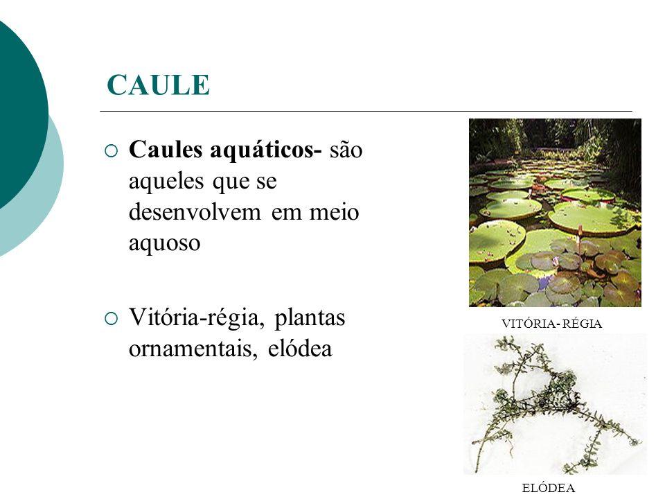 CAULE Caules aquáticos- são aqueles que se desenvolvem em meio aquoso Vitória-régia, plantas ornamentais, elódea VITÓRIA- RÉGIA ELÓDEA