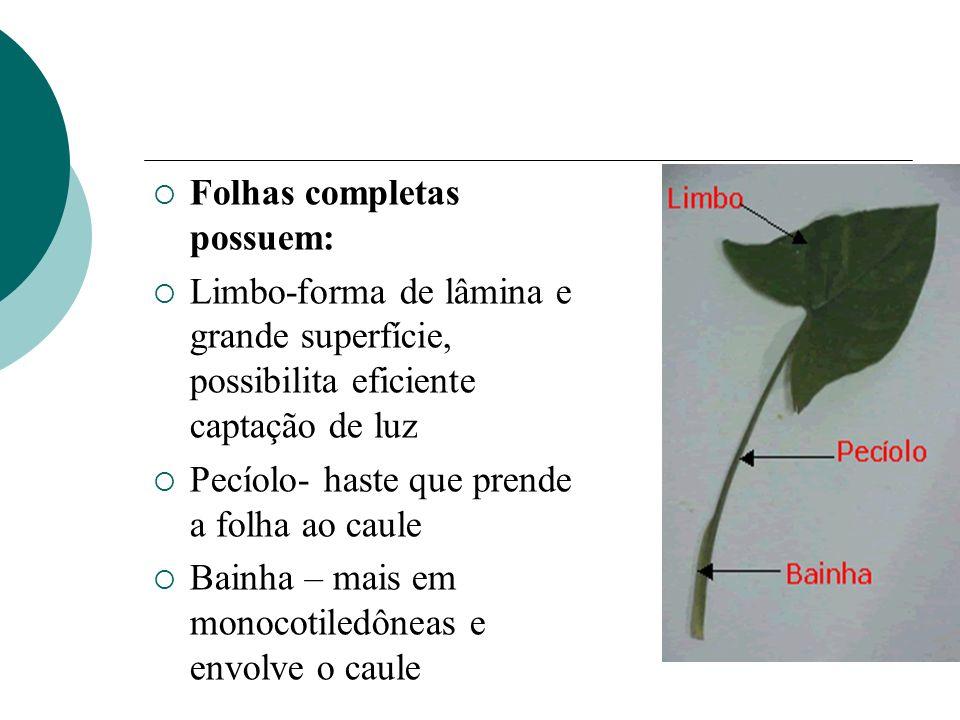 Folhas completas possuem: Limbo-forma de lâmina e grande superfície, possibilita eficiente captação de luz Pecíolo- haste que prende a folha ao caule Bainha – mais em monocotiledôneas e envolve o caule