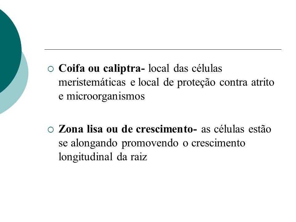 Coifa ou caliptra- local das células meristemáticas e local de proteção contra atrito e microorganismos Zona lisa ou de crescimento- as células estão se alongando promovendo o crescimento longitudinal da raiz
