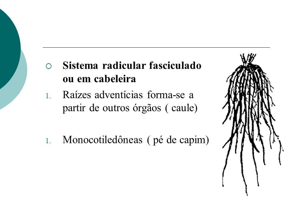 Sistema radicular fasciculado ou em cabeleira 1. Raízes adventícias forma-se a partir de outros órgãos ( caule) 1. Monocotiledôneas ( pé de capim)