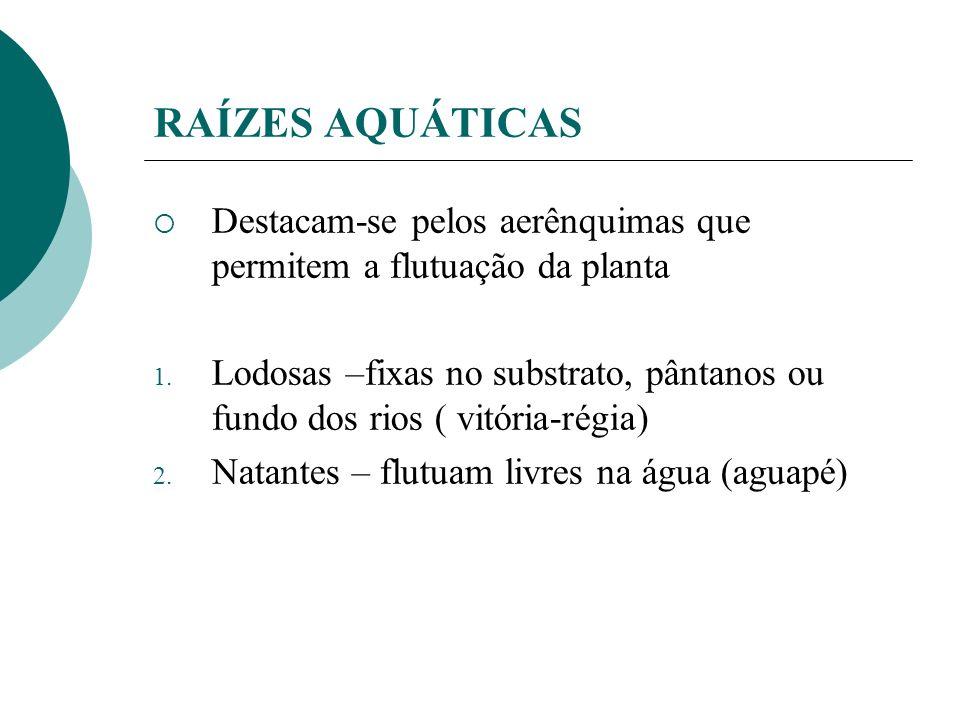 RAÍZES AQUÁTICAS Destacam-se pelos aerênquimas que permitem a flutuação da planta 1. Lodosas –fixas no substrato, pântanos ou fundo dos rios ( vitória